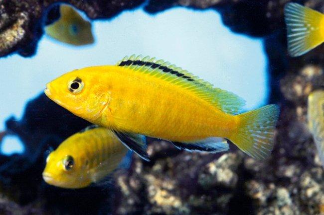 рыбки лабидохромисы еллоу