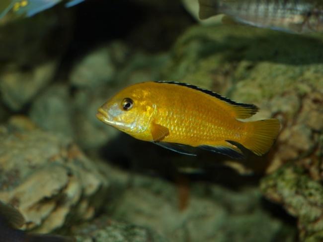 аквариумная рыбка лабидохромис желтый