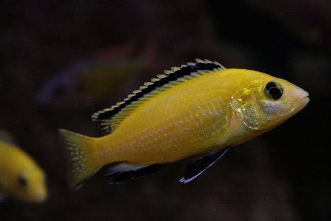 рыбка лабидохромис еллоу или цихлида-колибри плавает в аквариуме