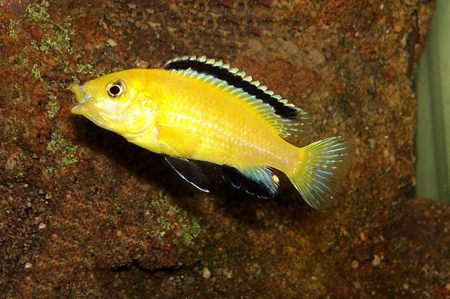 цихлида озера малави лабидохромис еллоу или лабидохромис желтый