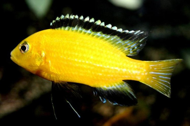 рыбка семейства цихловых лабидохромис еллоу в аквариуме