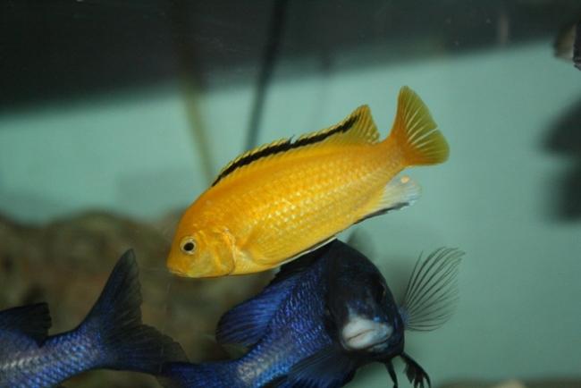 цихлида озера малави лабидохромис желтый плавает в аквариуме
