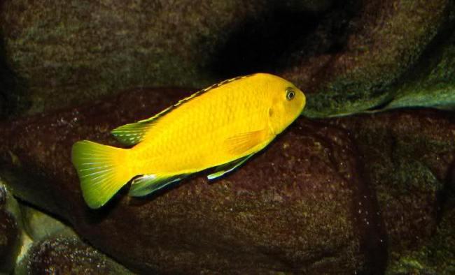 лабидохромис желтый или цихлида-колибри плавает в аквариуме