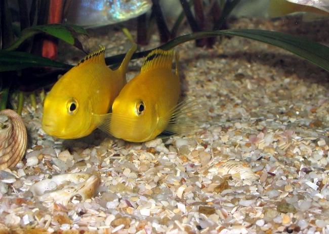 рыбки лабидохромисы еллоу плавают в аквариуме