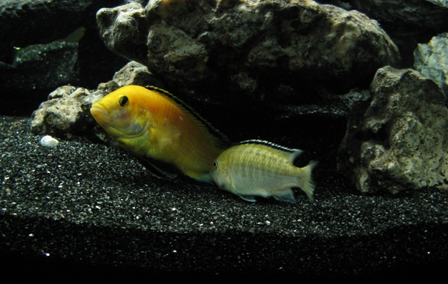 лабидохромис еллоу в аквариуме с другими рыбками