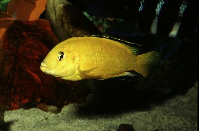 цихлида озера малави лабидохромис желтый