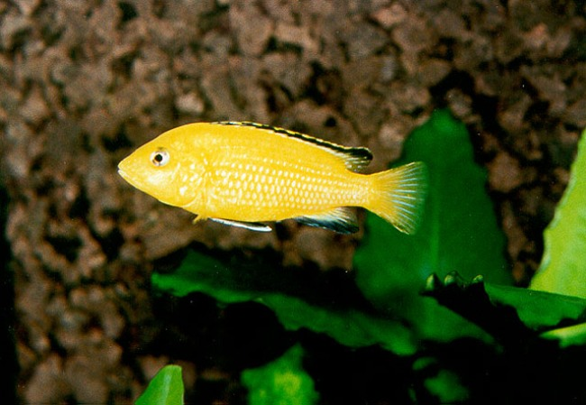 африканская цихлида лабидохромис желтый или цихлида-колибри плавает в аквариуме