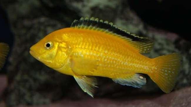 рыбка семейства цихловых лабидохромис еллоу или цихлида-колибри