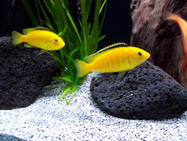 рыбки лабидохромисы желтые плавают в аквариуме