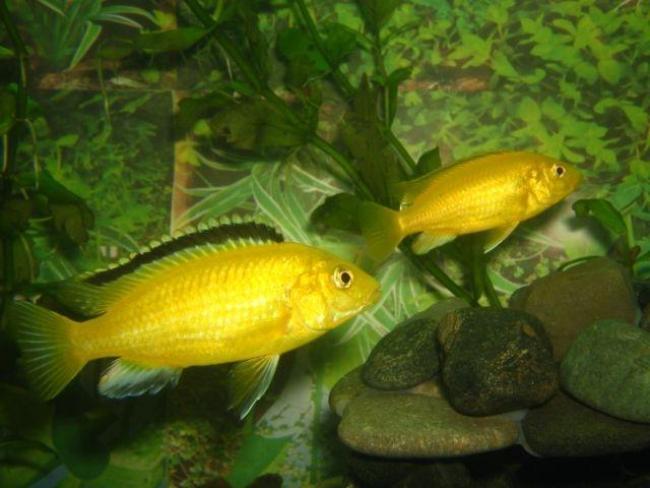лабидохромисы желтые