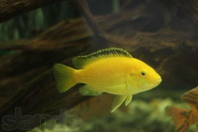 цихлида лабидохромис желтый