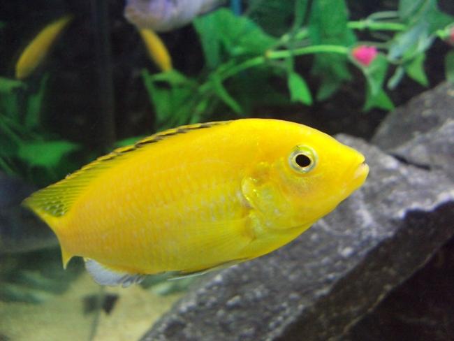 рыбка лабидохромис желтый или цихлида-колибри в аквариуме