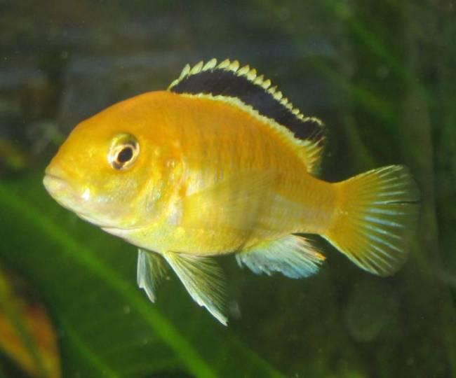 цихлида лабидохромис желтый плавает в аквариуме
