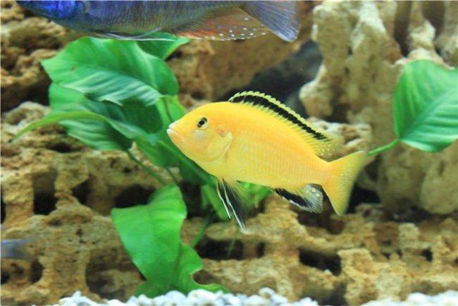 рыбка семейства цихловых лабидохромис желтый плавает в аквариуме