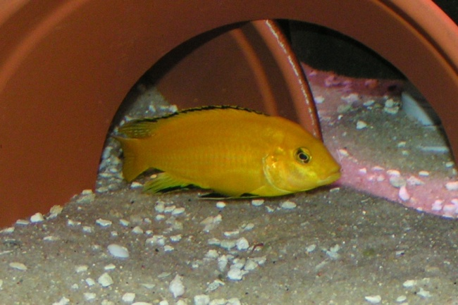 лабидохромис желтый или цихлида-колибри в аквариуме