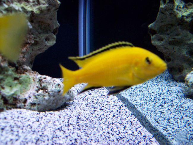 цихлида-колибри плавает в аквариуме с камнями