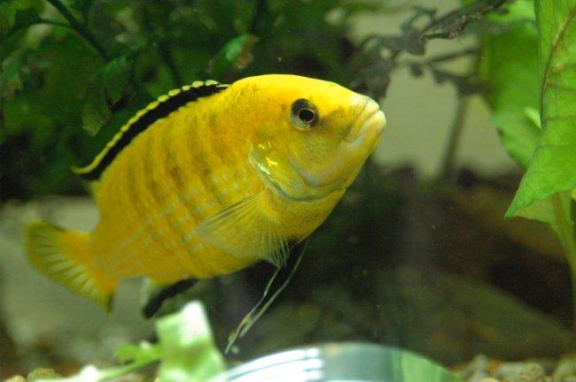 рыбка лабидохромис желтый или цихлида-колибри