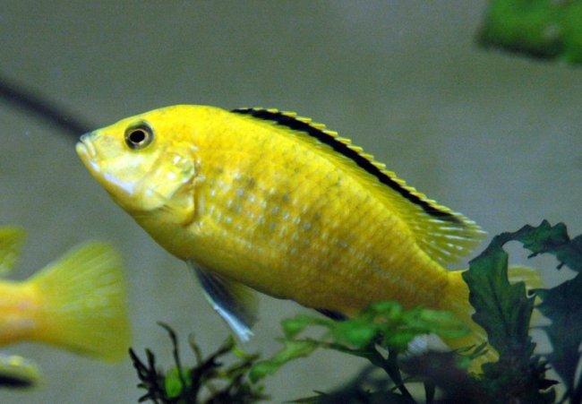 цихлида лабидохромис желтый или цихлида-колибри в аквариуме
