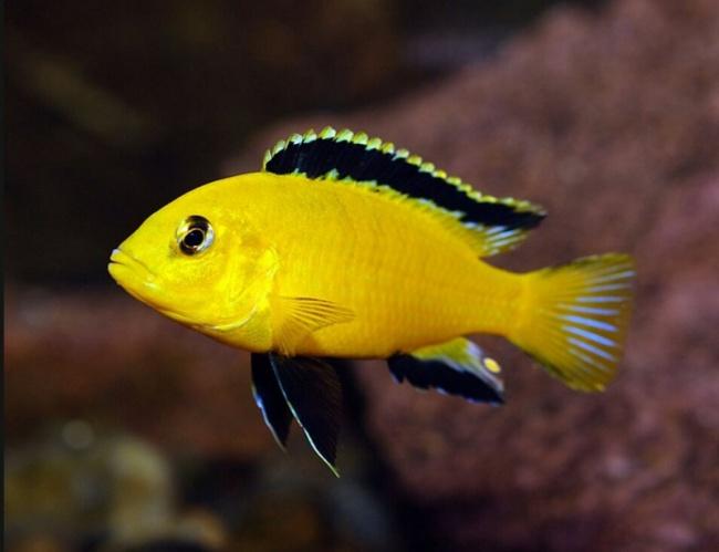 аквариумная рыбка лабидохромис желтый или цихлида-колибри