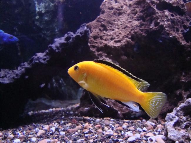 аквариумная рыбка лабидохромис еллоу или цихлида-колибри