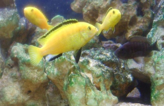 лабидохромисы еллоу в аквариуме