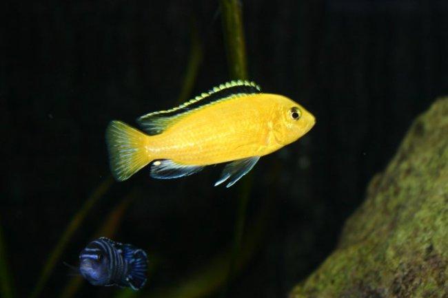 цихлида лабидохромис желтый в аквариуме