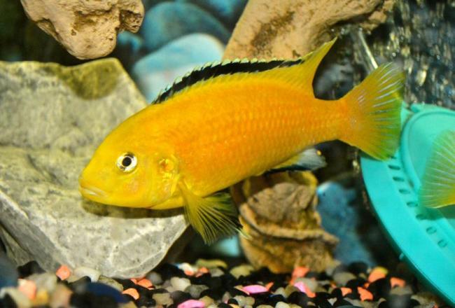 рыбка семейства цихловых лабидохромис еллоу или лабидохромис желтый в аквариуме