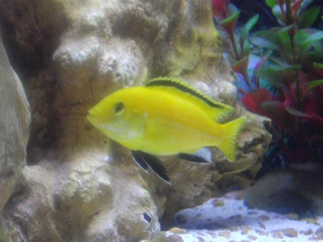 лабидохромис желтый плавает в аквариуме