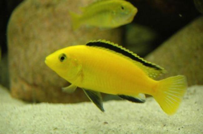 цихлида лабидохромис желтый или цихлида-колибри