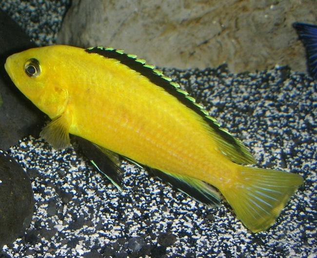 рыбка семейства цихловых лабидохромис еллоу или цихлида-колибри плавает в аквариуме