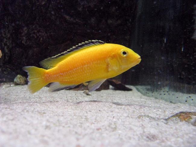 рыбка цихлида-колибри в аквариуме