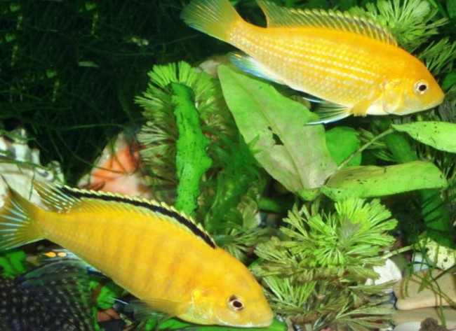 лабидохромисы еллоу или лабидохромисы желтые