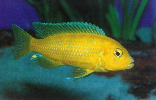 цихлида лабидохромис еллоу или лабидохромис желтый в аквариуме