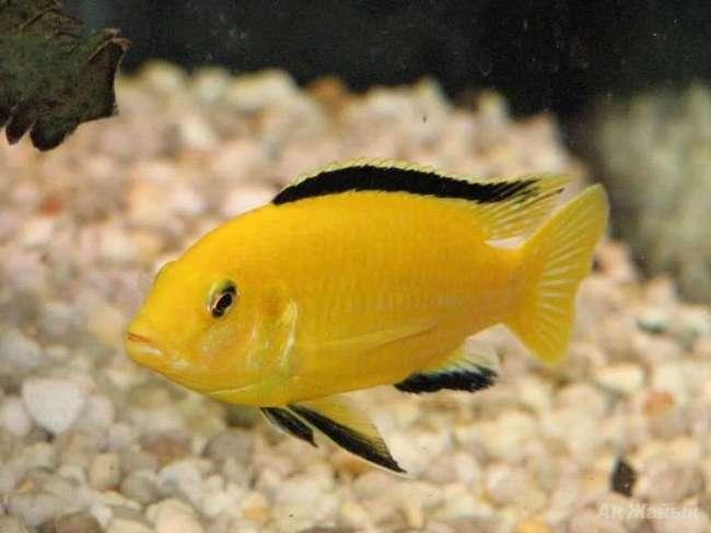 рыбка семейства цихловых лабидохромис желтый или цихлида-колибри