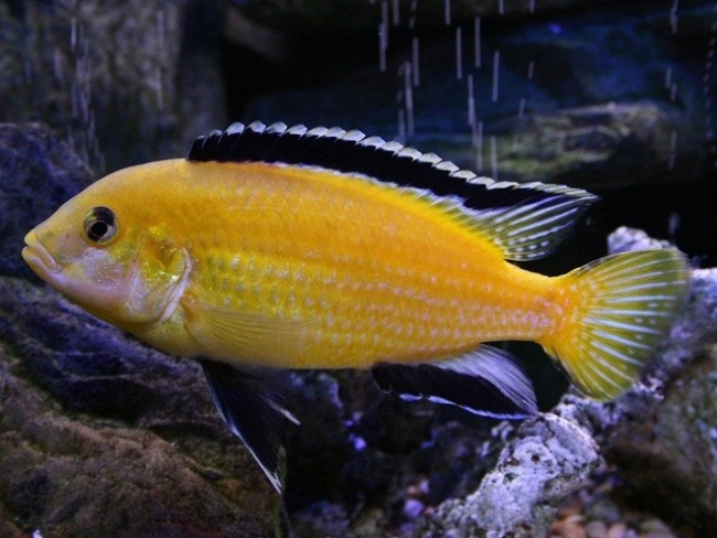 цихлида лабидохромис еллоу плавает в аквариуме