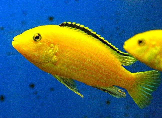аквариумные рыбки лабидохромисы еллоу