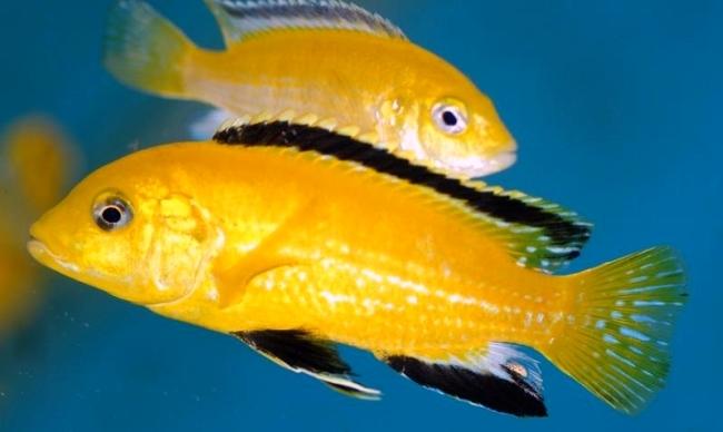 рыбки семейства цихловых лабидохромисы еллоу