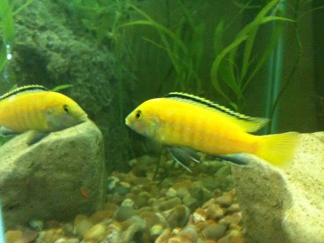 рыбка лабидохромис еллоу плавает в аквариуме