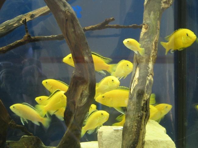 рыбки лабидохромисы желтые