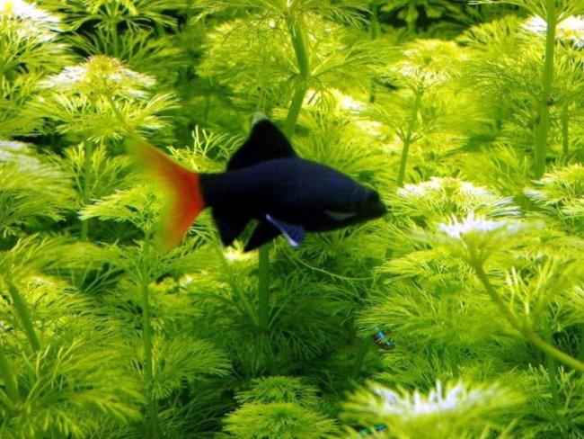 лабео биколор на фоне растений