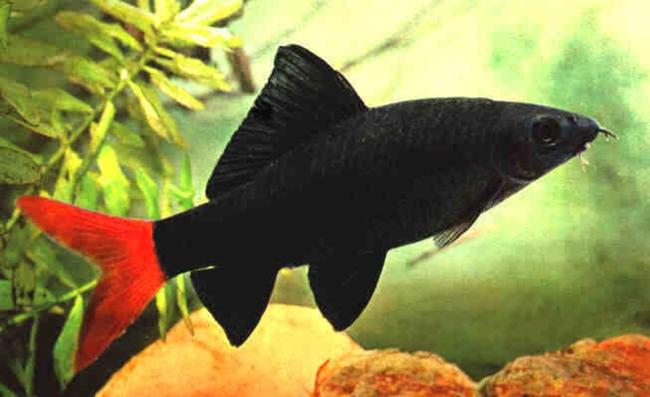 аквариумная рыбка двухцветный лабео