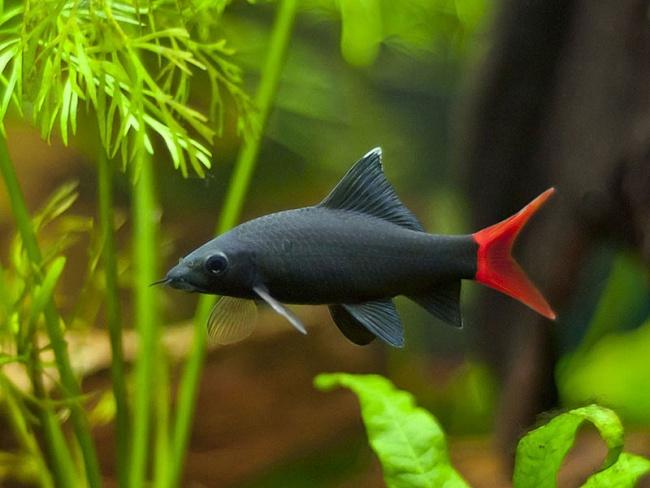 рыбка двухцветный лабео