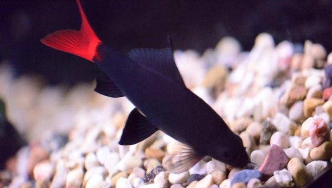 рыбка двухцветный лабео у дна в аквариуме