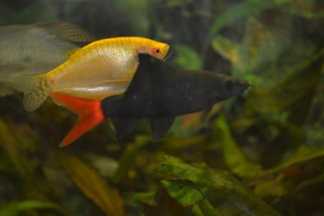 двухцветный лабео в аквариуме с другими рыбками