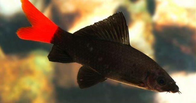 аквариумная рыбка лабео биколор