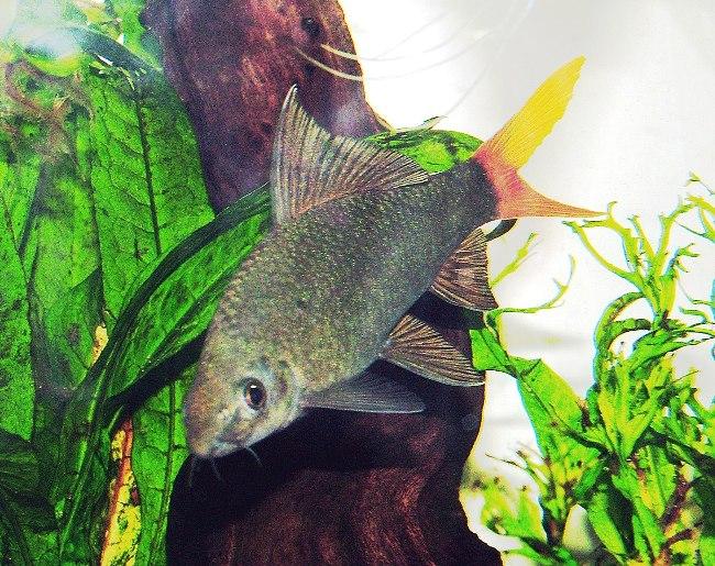 рыбка семейства карповых двухцветный лабео или лабео биколор