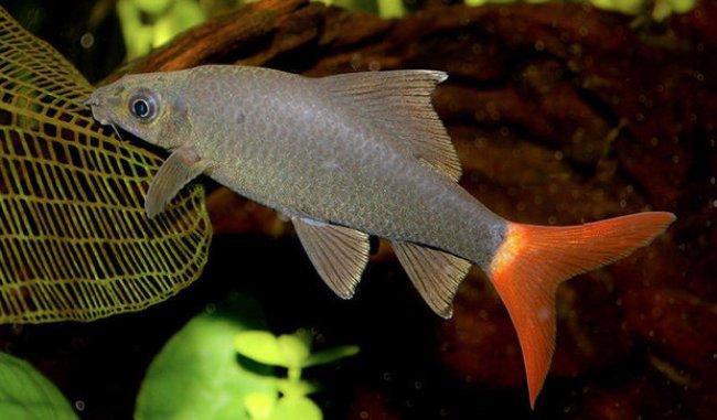 аквариумная рыбка двухцветный лабео или лабео биколор