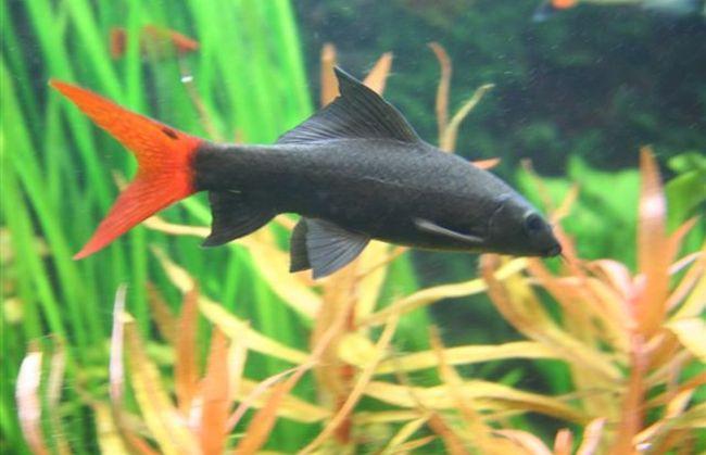 рыбка лабео биколор плавает в аквариуме на фоне растений