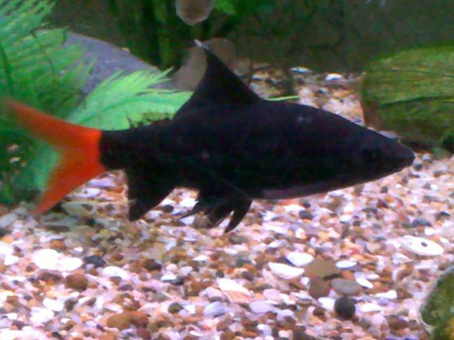 рыбка двухцветный лабео плавает у дна в аквариуме