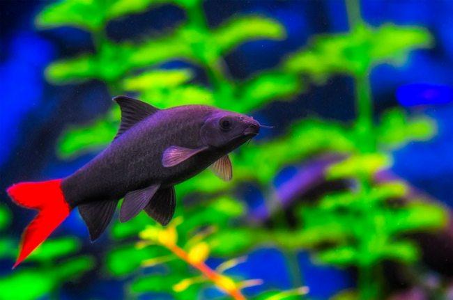 двухцветный лабео или лабео биколор плавает в аквариуме